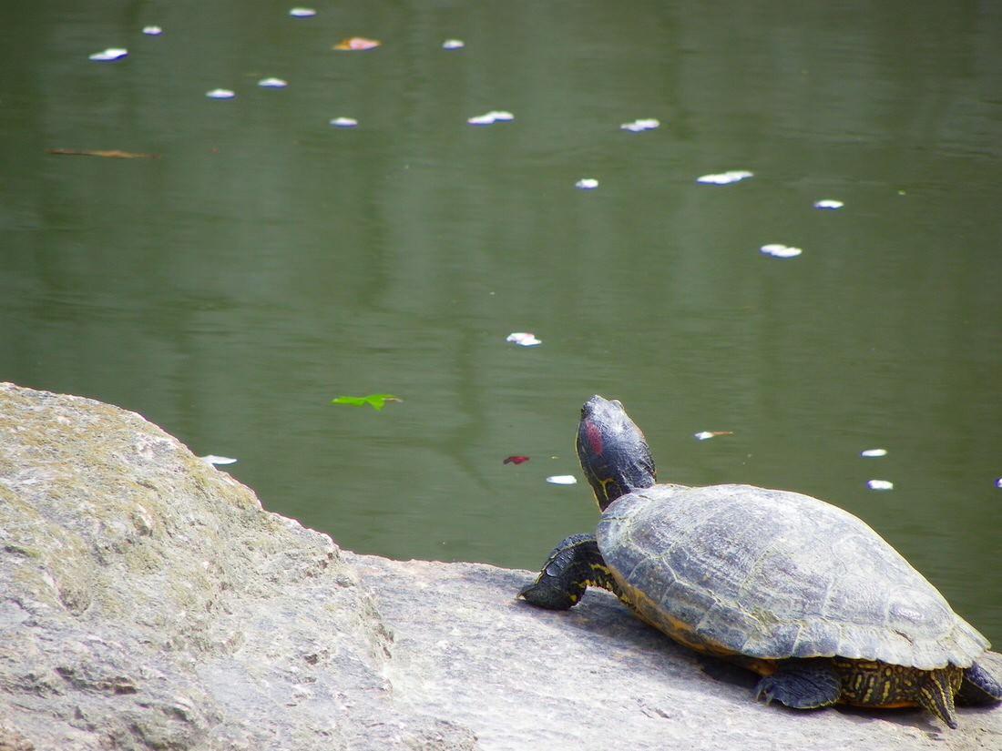 running-turtle